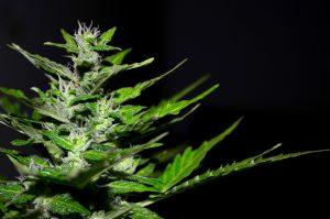 cannabis plant wiet