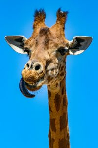giraffe artis