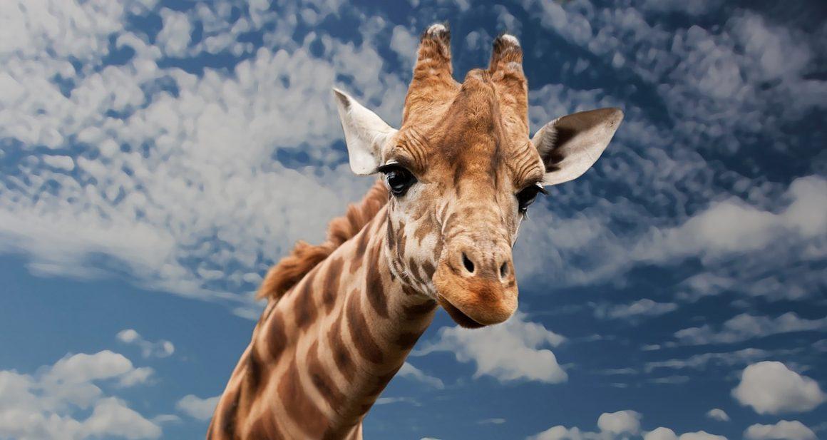 giraffe artis cannabis