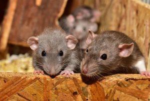 ratten onderzoek wiet
