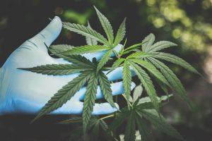 Het wietexperiment in Nederland - cannabisnieuws 2019